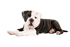 Фотографии Собака Белым фоном Бульдог