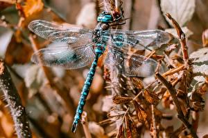 Фотографии Стрекозы Вблизи Крылья животное