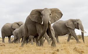 Обои для рабочего стола Слоны Животные