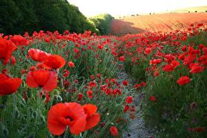 Картинка Поля Маки Много Природа Цветы