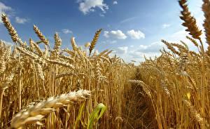 Картинка Поля Пшеница Колосья Тропа Природа