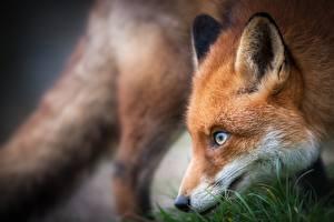 Фотографии Лисица Взгляд Морда Боке животное