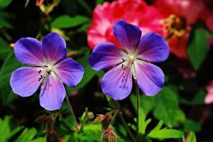 Фото Журавельник Вблизи 2 Синяя Geranium pratense цветок