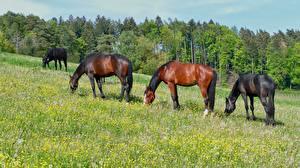 Фотографии Лошадь Луга Траве животное
