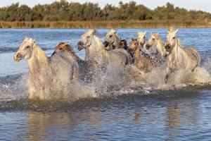 Фото Лошадь Много Воде С брызгами животное