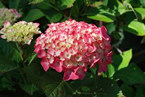 Фотографии Гортензия Вблизи Розовых Цветы
