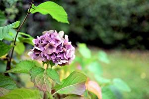 Обои для рабочего стола Гортензия Листья Фиолетовый Размытый фон Цветы