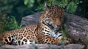 Фотография Ягуар Лежа Спящий Морды животное