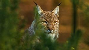 Фото Рысь Боке Морды Усы Вибриссы Смотрит животное