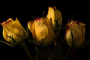 Картинки Роза Вблизи На черном фоне Желтая цветок
