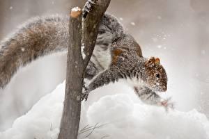 Фотографии Белка Снега Ветвь животное