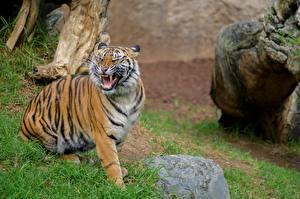 Картинки Камень Клыки Тигры Усы Вибриссы Рычит Sumatran Tiger Животные