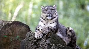 Фото Камень Ирбис Боке Лежа Смотрит Лап животное