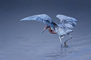 Фотография Воде Птица Цапля Egretta rufescens животное