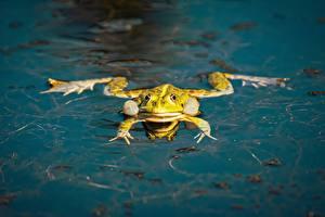 Фото Вода Лягушка животное