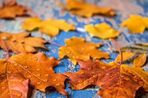 Картинки Осенние Листва Клёна Капля Природа