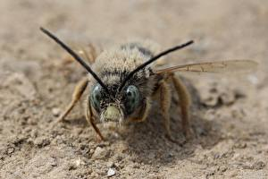 Фотографии Пчелы Вблизи Насекомое Песка животное
