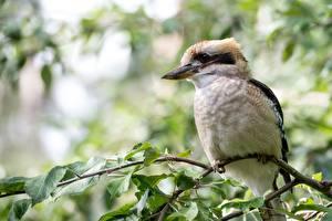 Фотографии Птица Ветвь Листва Боке Laughing kookaburra животное