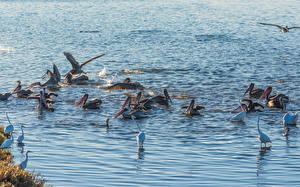Обои для рабочего стола Птицы Пеликаны Много Воде животное