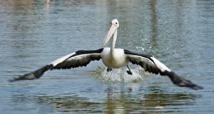 Обои для рабочего стола Птицы Пеликаны Вода Крылья животное