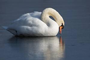 Картинки Птица Лебедь Белая Льда Пища