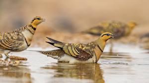 Фотографии Птица Воде Боке Perdix животное