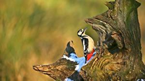 Картинки Птицы Дятлы Пень животное