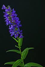 Обои Черный фон Фиолетовый Buddleja Цветы