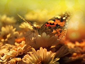 Обои Бабочка Крупным планом животное