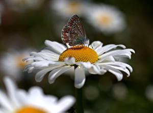 Обои для рабочего стола Ромашка Бабочка Вблизи Насекомое Боке цветок