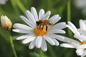 Фотографии Ромашка Вблизи Пчелы Насекомое цветок