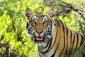 Фотография Клыки Тигр Морды Усы Вибриссы Смотрит животное