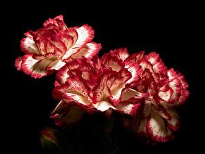 Фотография Гвоздика Вблизи На черном фоне цветок