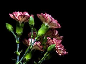 Фотографии Гвоздики Крупным планом На черном фоне Бутон цветок