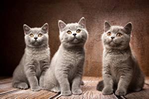 Картинка Коты Британская короткошёрстная Серая Втроем Natalya Leis животное