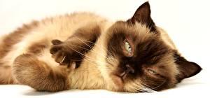 Картинки Коты Вблизи Лап Лежа Усы Вибриссы Смотрит животное