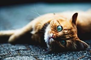 Фотография Кот Взгляд Рыжие Лежит Животные