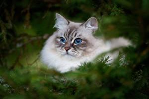 Картинки Кошки Взгляд Neva Masquerade Cat Животные