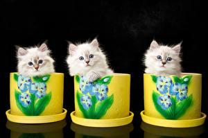 Обои Кот Котенок Трое 3 Neva Masquerade Cat