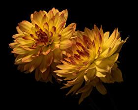 Фото Хризантемы Вблизи На черном фоне 2 Желтая