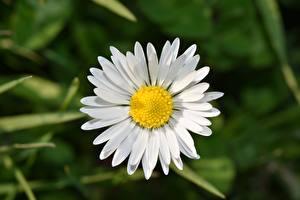 Картинка Вблизи Ромашка Белая цветок