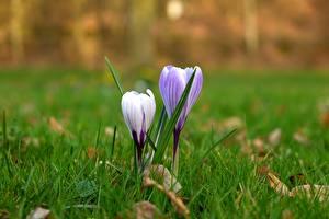 Обои Крупным планом Крокусы Трава Фиолетовая Цветы