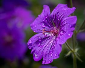 Фото Вблизи Герань Размытый фон Фиолетовый Капля Цветы