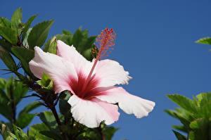 Обои для рабочего стола Крупным планом Гибискусы Розовых Цветы