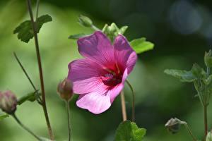 Фотографии Вблизи Гибискусы Розовая Боке цветок