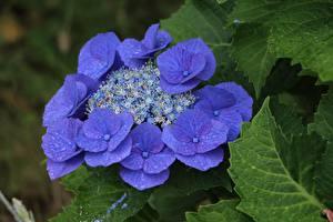 Фотографии Вблизи Гортензия Синяя Фиолетовая цветок