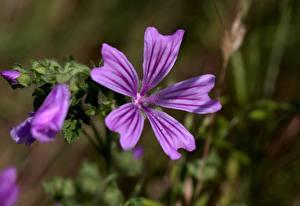 Фото Вблизи Мальва Фиолетовая Боке Malva sylvestris
