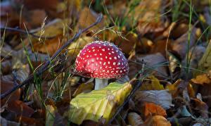 Фото Вблизи Грибы природа Мухомор Листья Красных Природа