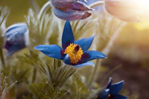 Обои Вблизи Прострел Боке Синяя цветок