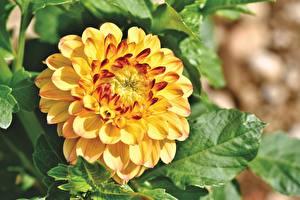 Картинки Георгины Крупным планом Желтый цветок